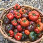 tomato harvest 8-31-18